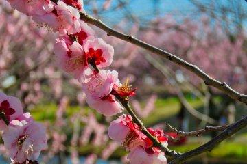 Odawara Flower Garden -  One of over 200 varieties