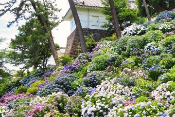 Castle Park Hydrangea display