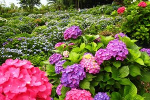 As a result, the temple has been nicknamed Ajisaidera, or the hydrangea temple