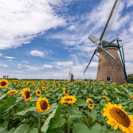 Windmill Sunflower Garden