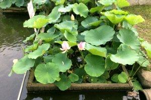 The tiny water garden Yuhigake, Noda City