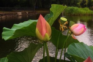 Oga lotus in the evening