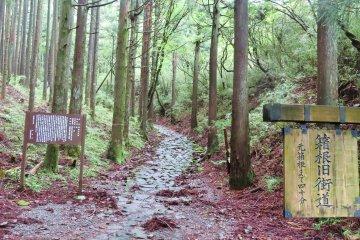 400 year old cedar trees