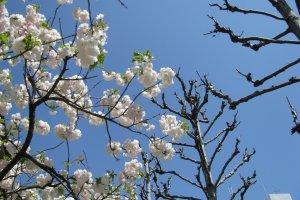 Cакура цветёт, когда другие деревья ещё голые