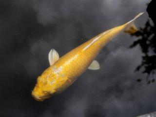 Golden koi fish - just one element of a garden