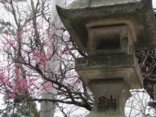 Plum tree or ume in bloom