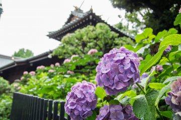 東京觀賞紫陽花的絕佳地點