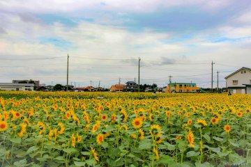 Autumn Sunflowers in Kawagoe