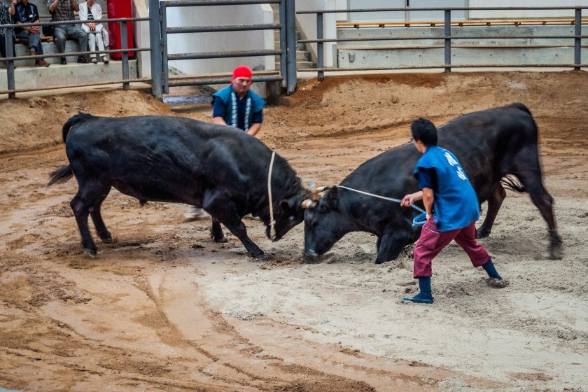 Two bulls clash as their handlers stand by