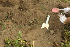 Sweet potato digging