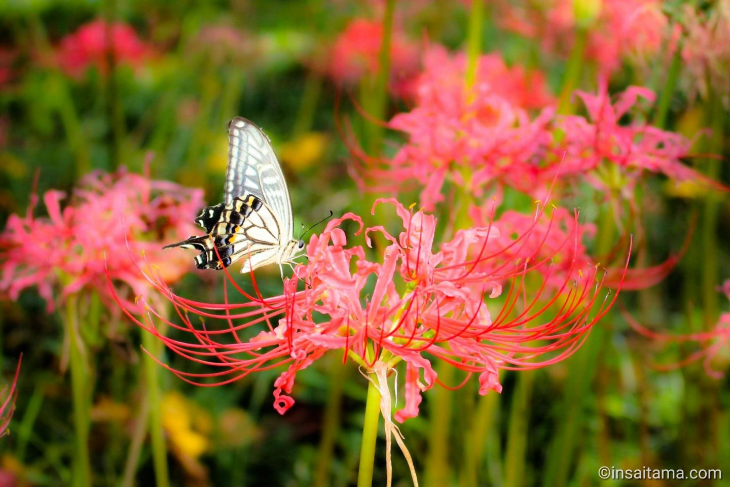Red spider lily and butterfly, Saitama Prefecture