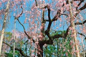 Weeping sakura at Denboin