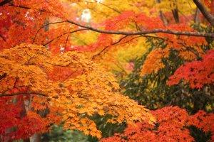 Colorful autumn foliage at Showa Kinen Park