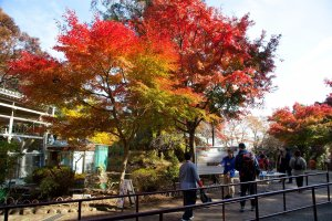 Autumn color greets you right at the exit of the Mt. Takao chairlift