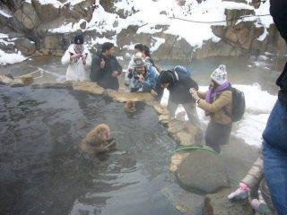 Туристы фотографируют оядзи (глава стаи)