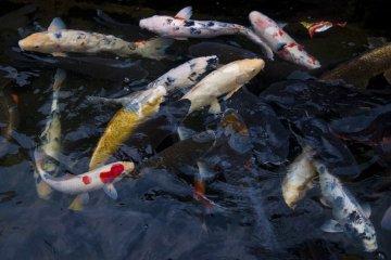 Japanese koi carps in Nakashima River close to Megane-bashi