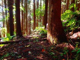 Deep in the cedars