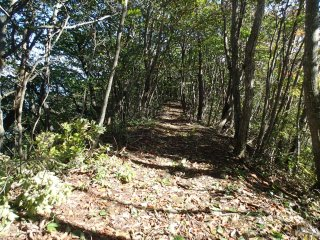 Ridge-line trail amoungst  the native birch trees