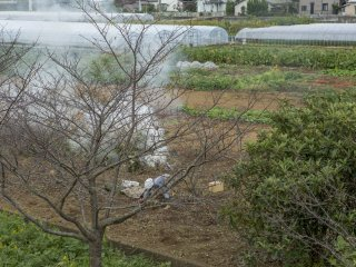 Oktober adalah musim Kaki (kesemek) di Jepang dan wanita ini sedang mengumpulkan hasil panen tahun ini di Kannami, jantungnya Prefektur Shizuoka