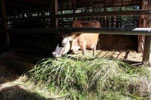 乳搾り体験をさせてもらえるジャージー牛。他3頭がこの牛舎にいる