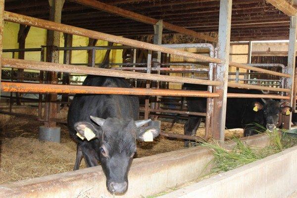 えさやり体験ができる黒毛和牛「若狭牛」