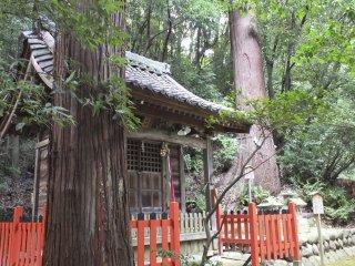 巨大な杉の木に囲まれて