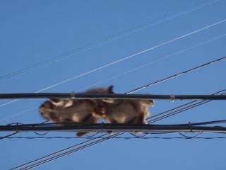 Monkeys use power lines as bridges
