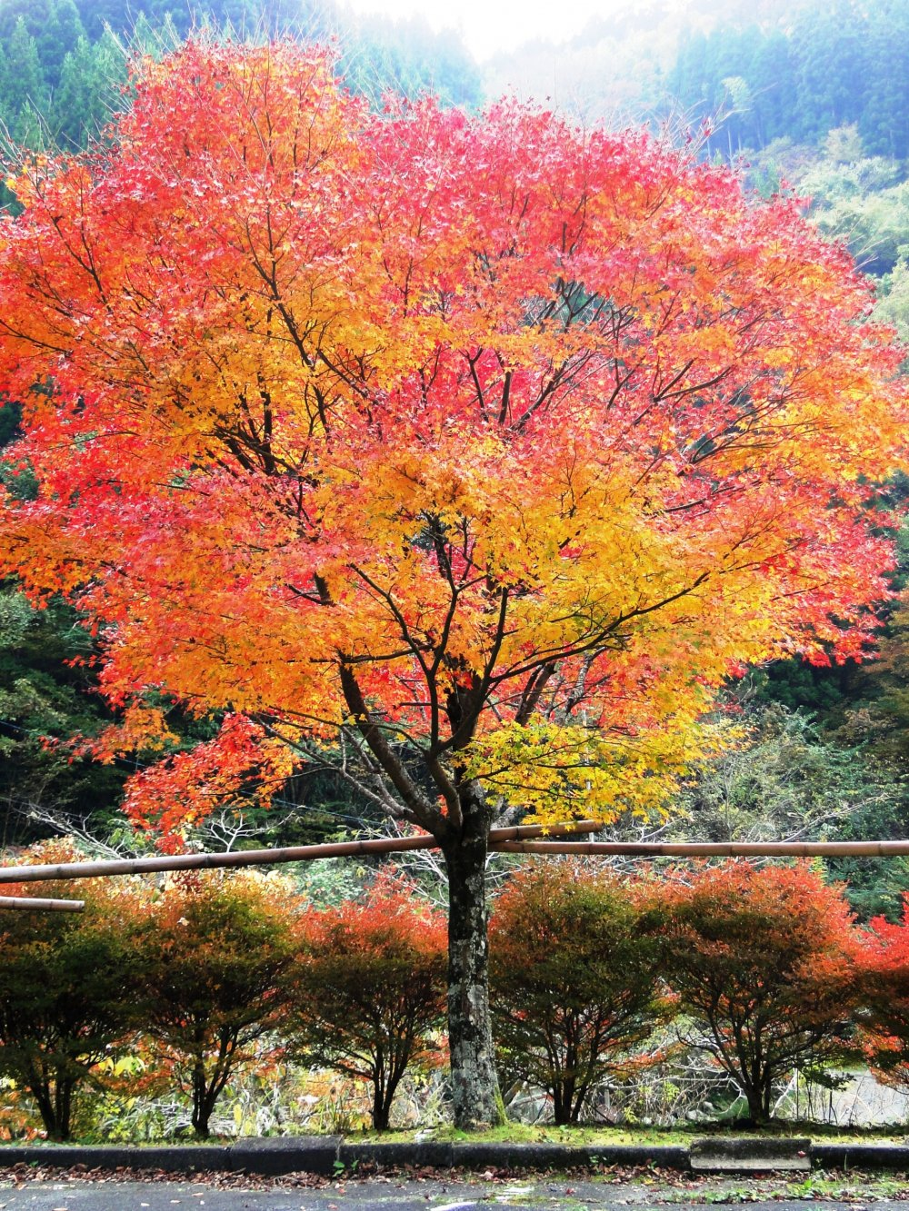A tree turns colors deep in the mountains of Gokanosho