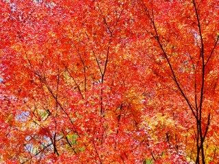 Một cây phong rực lửa ở Gokanosho