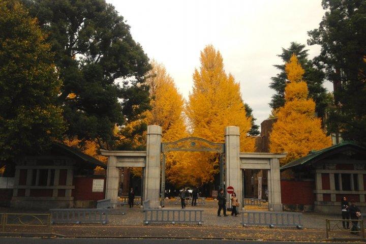 ต้นกิงโกะ ที่โทะได ในฤดูใบไม้ร่วง
