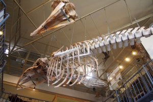 The skeleton of a whale hangs overhead.
