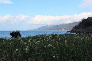 海岸縁の畑から咲き始める水仙は年明けとともに次第に斜面から丘の上の畑へとその開花の波を押し上げてゆく