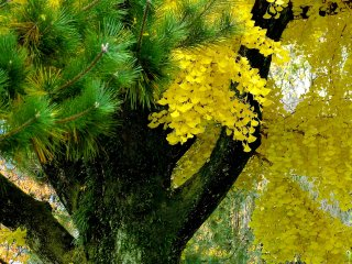 Agulhas de pinheiro e folhas de árvores ginkgo
