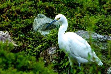 <p>An egret enjoying&nbsp;the garden</p>