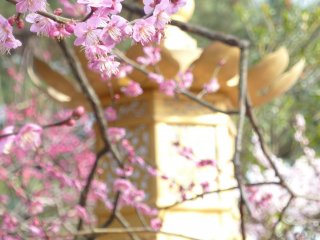 Plum blossoms have been celebrated in Japanese poetry since the 8th century