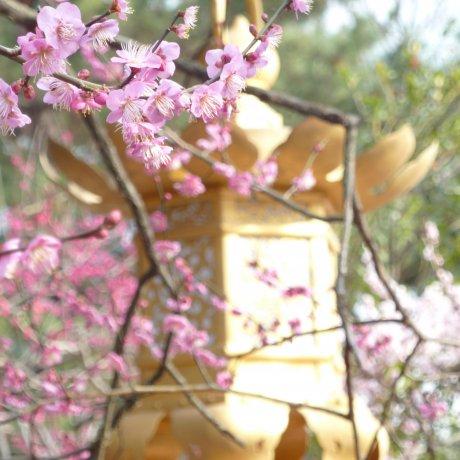 교토, 키타노텐만구의 봄