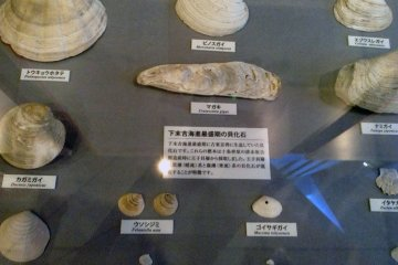 <p>Various shells that could be found near the museum millennia ago.&nbsp;</p>