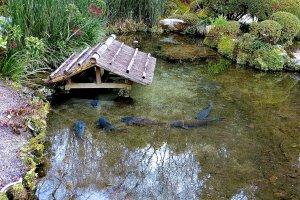 池に遊ぶ鯉たち