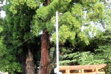1500-year old cedar tree in Wazukawhich is just a day trip from Kyoto