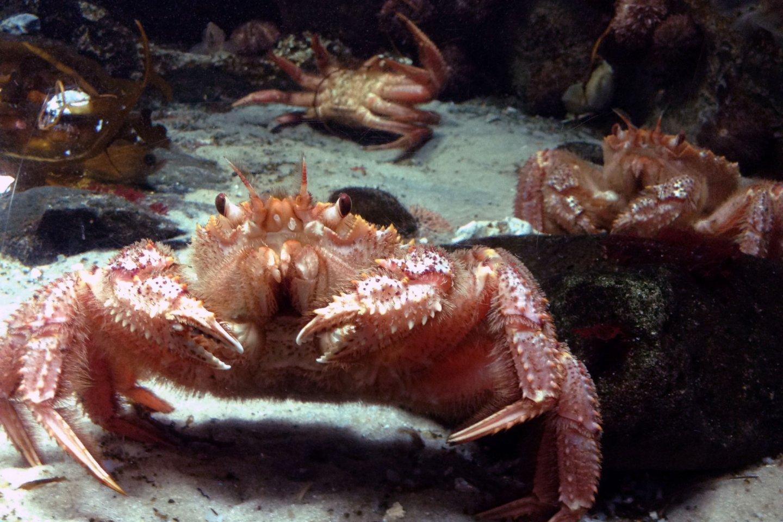 Um rei entre os caranguejos toma o palco principal para uma oportunidade de fotografia. As suas vítimas desafortunadas ficam dispersas no fundo. Estes caranguejos são uma das 400 espécies de animais e plantas representadas no Aquário Marinepia de Matsushima.