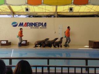 O espetáculo de leões marinhos é muito popular. Os seus risos e aplausos podem ser ouvidos por toda o recinto.