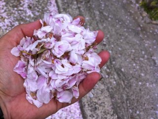 """나는 벚꽃 계절에 그 절을 방문하게 되어 행운이었다. 고이즈미 준이치로 전 일본 총리가 정점에 달해 은퇴를 선언한 자리에서 """"꽃은 일정 시간 동안 꽃이 피기 때문에 아름답다""""고 말한 것은 무절제한 말이었다. 꽃과 마찬가지로 사람들은 언제 가서 배턴을 다음 세대에 넘길지 알아야 한다."""