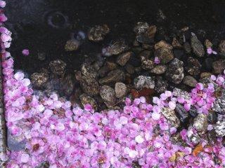 조용한 노후 쿠지 절 주변에는 벚꽃이 많지 않습니다. 그러나, 꽃잎이 언제 어디서나 부처님 동상의 양쪽에있는 작은 운하 근처에 자리 잡고 있으면보기가 정말 아름답습니다
