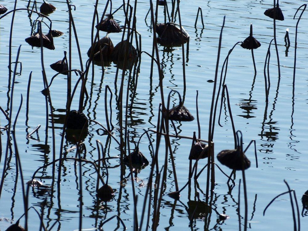 Flores de lótus murchas