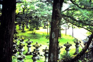 A large 'Suki' tree (Japanese pine tree) and some stone lanterns