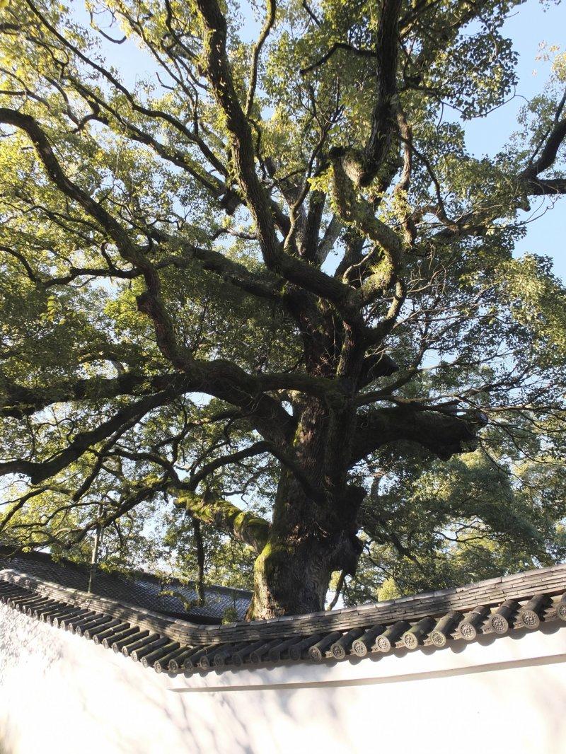 사원에 있는 다섯 개의 나무 중, 800년 된 거대한 녹나무