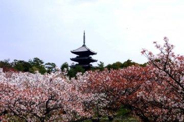 닌나지의 탑이 벚나무 위에 솟아있다