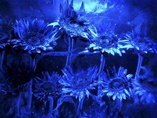 Hoa đóng trong các khối băng là một phần trang trí của cửa hàng độc đáo này