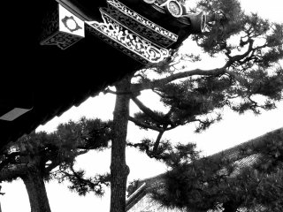 The beautiful shape of Japanese pine