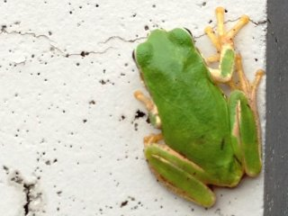 Lime Green frogs and other pleasant surprises on your walk.